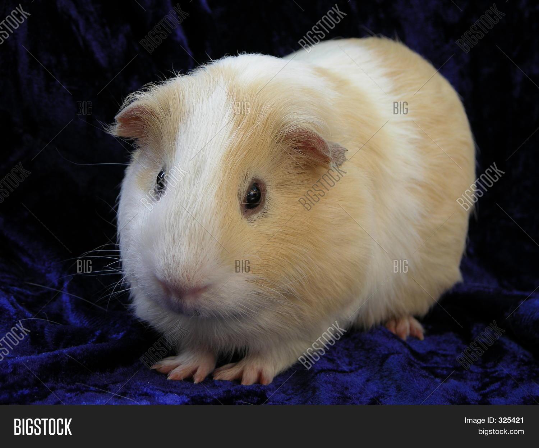 Морская свинка для ребенка плюсы и минусы фото
