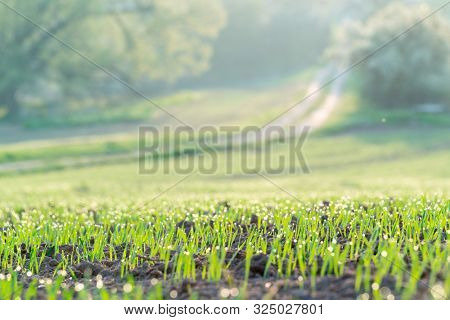 Young wheat crops in the morning agricultural field