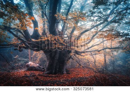 Old Magical Tree With Big Branches And Orange Leaves In Blue Fog In Rain. Autumn Colors. Mystical Fo