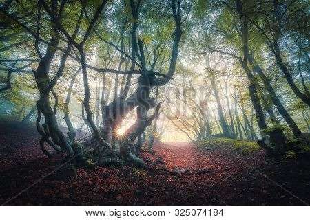 Fairy Forest In Fog At Sunrise In Fall. Autumn Colors. Magical Old Trees With Sun Rays. Colorful Dre