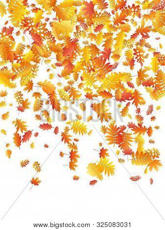 Oak, Maple, Wild Ash Rowan Leaves Vector, Autumn Foliage On White Background. Red Gold Yellow Sorbus