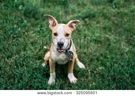 Cute Small American Staffordshire Terrier Puppy Sitting Outdoors In Green Grass