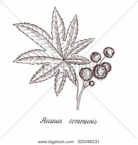 Vector Drawing Castor Plant, Ricinus Plant , Hand Drawn Illustration