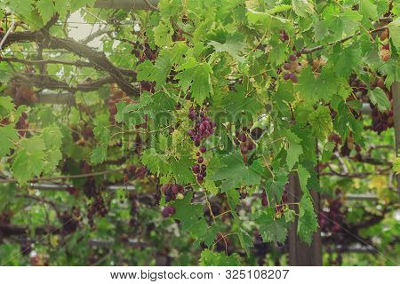 Ripe Bunches Of Red Wine Grapes Hang In Warm Evening Light On Uncared Isolates Farm. Cyprus. Horizon