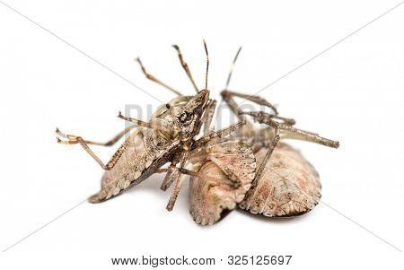Brown Marmorated Stink Bug, Halyomorpha halys against white background