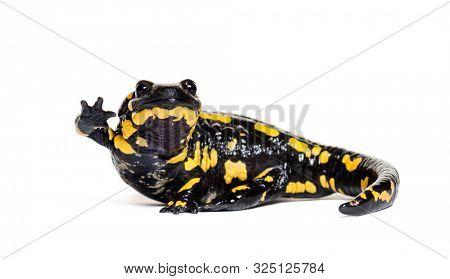 Fire salamander, Salamandra salamandra, waving in front of white background