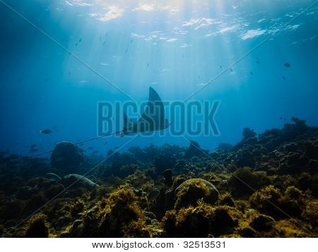 Eagle Ray Swimming On Coral Reef