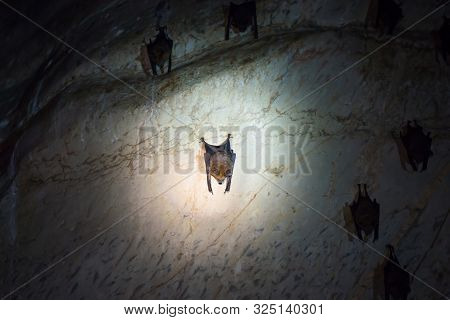 Closeup view of dark brown bats colony hanging on ceiling of natural cave poster