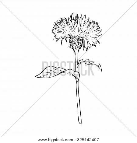Milk Thistle Black And White Illustration. Silybum Marianum Inscription. Homeopathic Plant For Liver