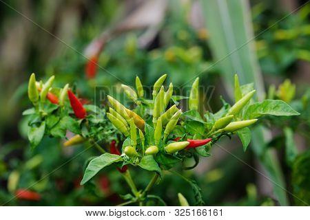 Bird Pepper Plant Bunch Group Ripe Organic Caribbean Tropical Green Garden Spicy Hot Natural Chilli