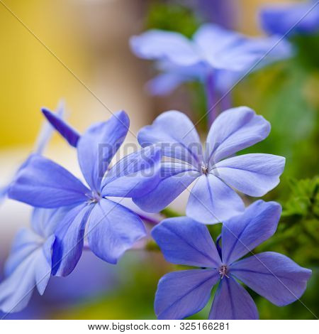 Blue Plumbago Blooming Blossom Closeup Clusters Macro Purple Decorative Plant Flower