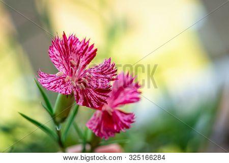 Botanical, Botany Flower Nature Carnation Sequier's Pink