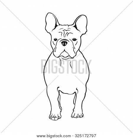 Cute French Bulldog. Vector Illustration. Dog Breed French Bulldog Stands Frontally Isolated On A Wh