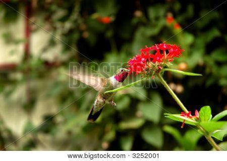 Broad - Tailed Hummingbird  (Selasphorus Platycercus) Collecting Nectar