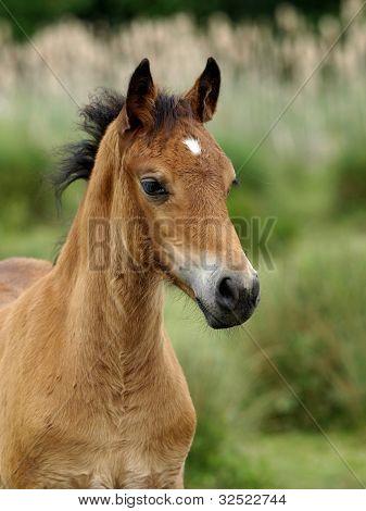 Welsh Foal Headshot
