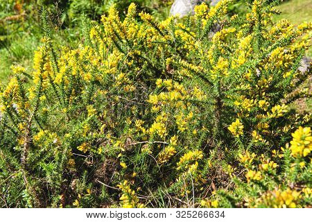 The Broom Flower In The Summer Season