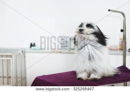 Dog Being Blown By Hairdryer. Happy Tibetan Terrier Dog Under The Blow Dryer After  A Bath  Procedur