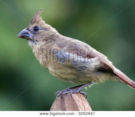 Female Cardinal On Fence