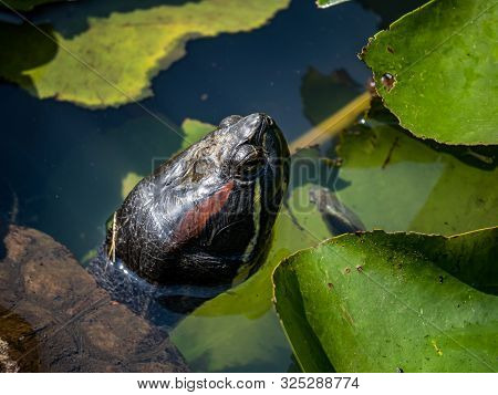 A Close Up Photo Of The Head Of A Red-eared Slider Turtle, Trachemys Scripta Elegans, Swims In A Sma