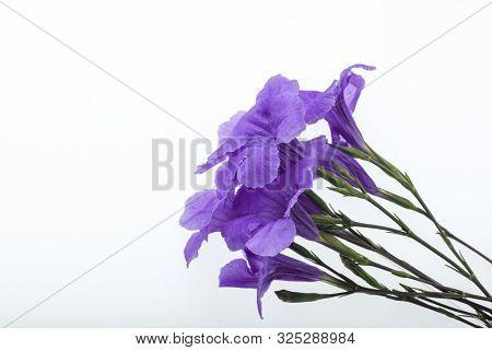 Purple Ruellia Tuberosa Flower Blossom Isolated On White