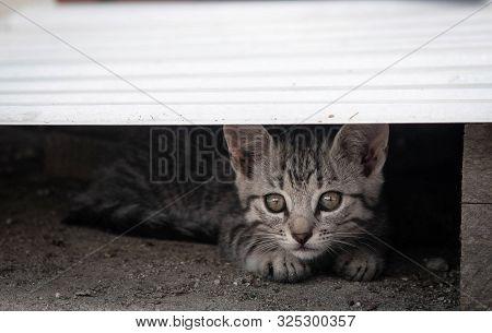 Curious Young Kitten Peeking. Domestic Inquisitive Kitten.