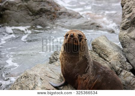 Fur Seal Chilling At The Pacific Ocean On The South Island Of New Zealand