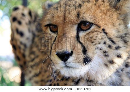 Cheetah In Perspective