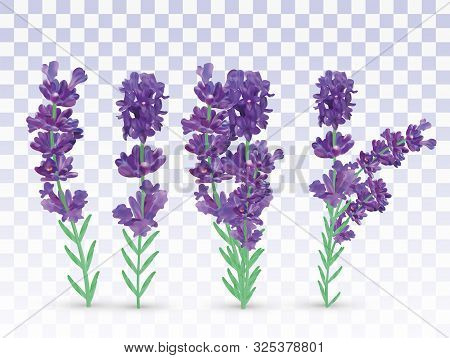 Collection Violet Lavender With Green Leaf Isolated On Transparent Background. Bunch Flower. Lavende