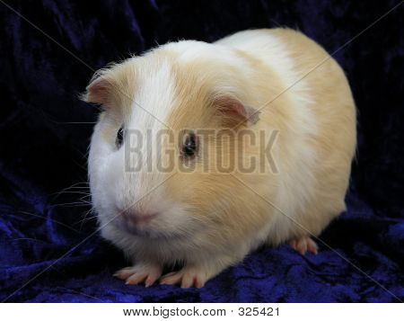 Cream And White Guinea Pig On Blue