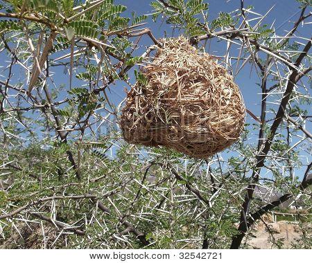 Nest in thorns
