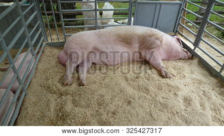 Pig With Large Testes Lies In Aviary With Sawdust. Big Hog. Red Hogging Swine On Farm. The Boar Slee