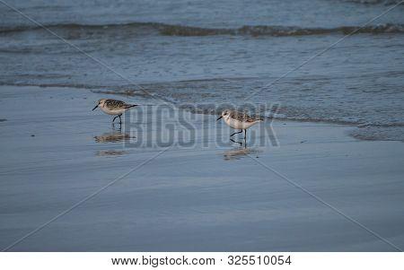Two Small Beach Plover Birds Along Dutch Coast