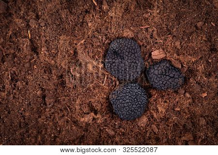 Black Truffle In The Ground. Truffle Hunt. Mushroom Cultivation. Delicacy Exclusive Truffle Mushroom