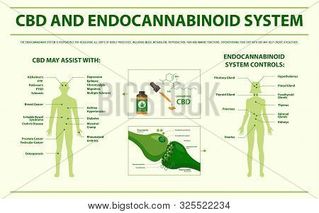 Cbd And Endocannabinoid System Horizontal Infographic Illustration About Cannabis As Herbal Alternat