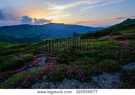 Pink Rose Rhododendron Flowers On Summer Mountain Slope. Sunset. Evening Twilight Carpathians View,