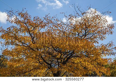 Top Of Tree With Discoloured Leaves Of The Fall Season Against A Bright Blue Sky
