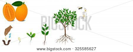 Cycle Of Growth Of Kumquat Plant On A White Background.