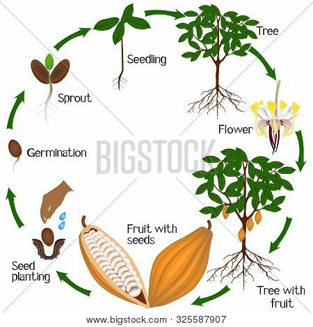 Cycle Of Growth Of Cocoa Tree On A White Background.