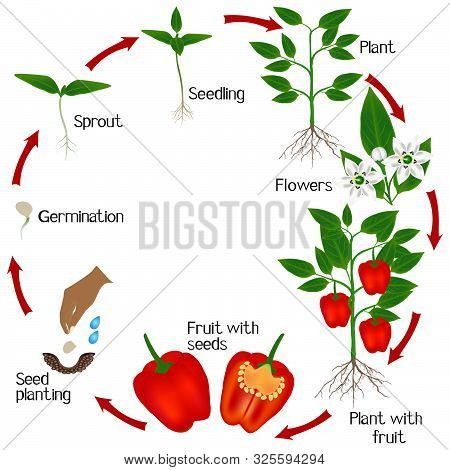 Life Cycle Of A Plant Of Red Pepper On A White Background.