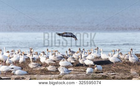 Snow goose, a color variant called the Blue Goose, Blue morph adults, Richmond BC Canada poster
