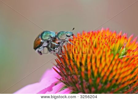Macro photo of two Japanese beetles on a pink cone flower poster