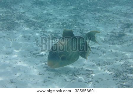 Triggerfish (balistodes Viridescens) Swims In The Indian Ocean, Maldives
