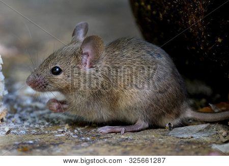 Mouse Feeding On Scone In Urban House Garden.