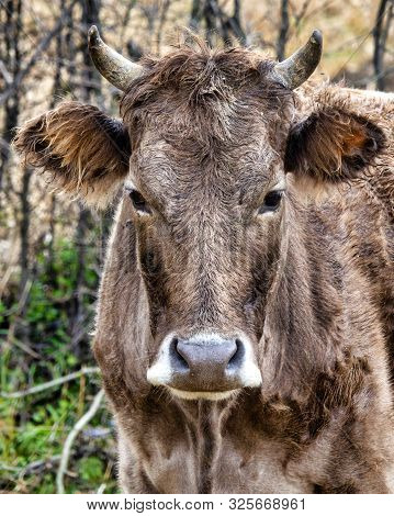 The Brown Caucasian (bos Taurus) Is A Cattle Breed From The Caucasus