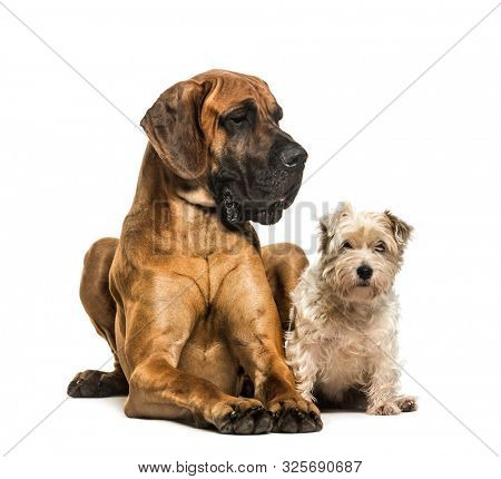 Great Dane and Mixed-breed dog sitting against white background