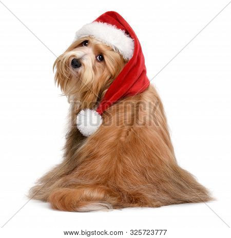 Cute Sitting Bichon Havanese Dog Is Wearing A Christmas Santa Hat - Isolated On White Background