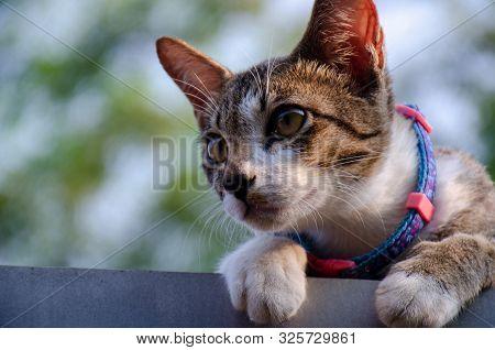 Close-up Portrait Of Cute Thai Cat, Eyes Cat