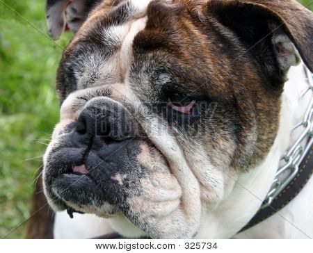 Bulldog 101