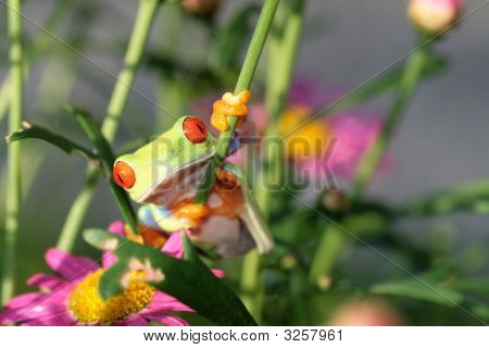 image of a red eyed tree frog-agalychnis callidryas poster