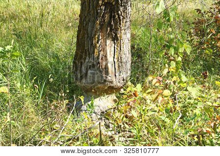 A Tree That Was Chewed By A Beaver In A Minnesota State Park.